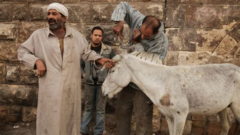 Donkey barbers bring beauty to beasts of burden in Old